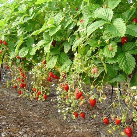 1000 id 233 es sur le th 232 me cultiver des fraises sur jardinage et conseils d entretien