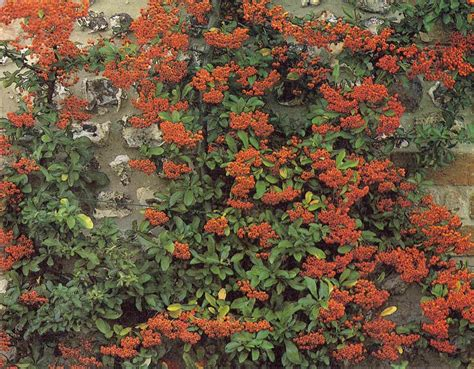 Evergreen Or Deciduous Climbing Plants?