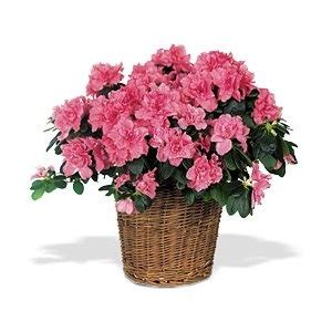 potted azalea plant potted gift ideas