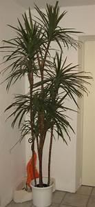 Palmen Für Die Wohnung : palmenarten zimmerpflanzen wirken sehr sch n ~ Markanthonyermac.com Haus und Dekorationen