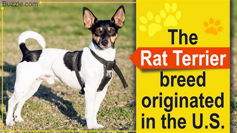Rat Terrier Shedding Help by Rat Terrier Mix Breeds You Probably Never Knew About