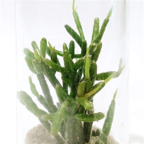 plante grasse cactus