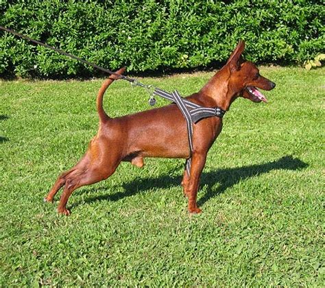 dogs we miniature pinscher the king of toys
