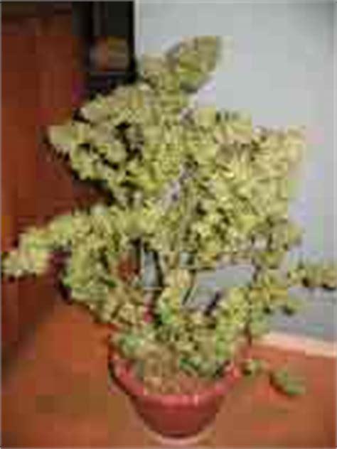 la culture du cannabis en int 233 rieur