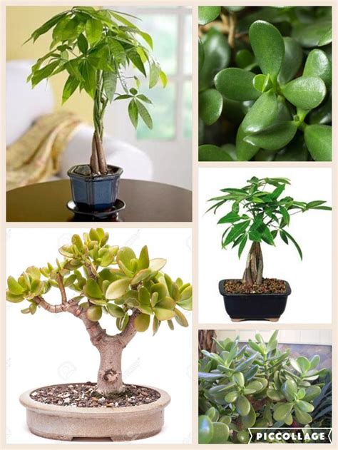 25 best ideas about money tree locations on