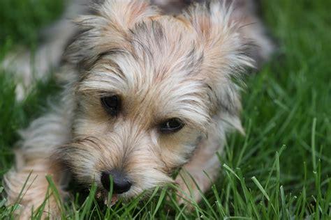 bichon yorkie designer dogs breed standards
