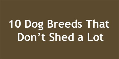smart dogs that dont shed 10 breeds that don t shed a lot doggyzoo