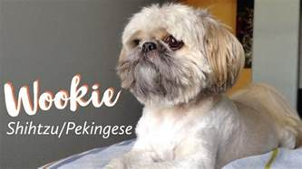Pekingese Shih Tzu Shedding by Wookie The Shih Tzu Pekingese Mix