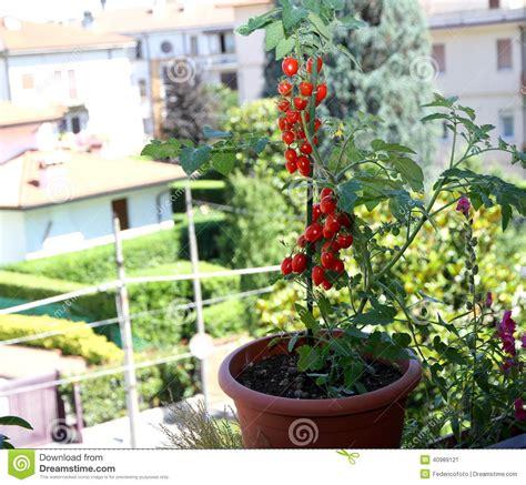 tomates rouges dans des pots sur le balcon de la terrasse