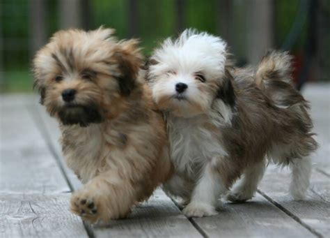related keywords suggestions for havanese yorkie puppies