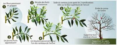 comment tailler un olivier ooreka