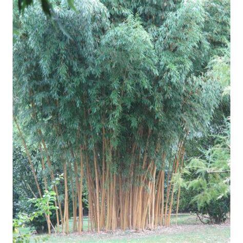 bamboo phyllostachys aurea h buy bamboo phyllostachys aurea h phyllostachys aurea holochrysa