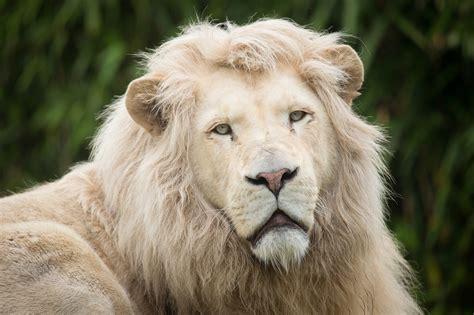 Male White Lion Wallpaper  Wwwpixsharkcom Images