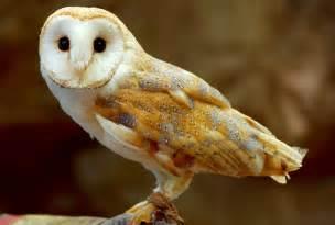 barn owl for barn owl flickr photo