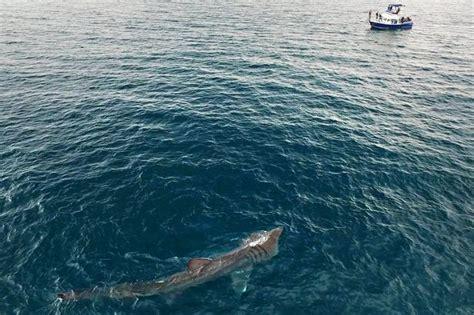Jaws Fishing Boat Scene giant shark recreates terrifying scene from jaws as it