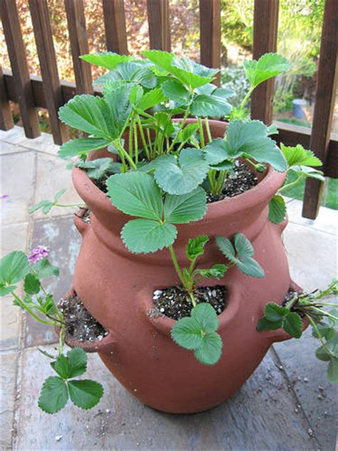 Potting Soil Container Gardening For Strawberries 930