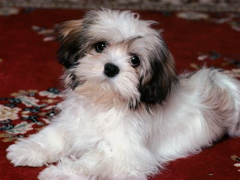 lhasa apso puppy trendy mods