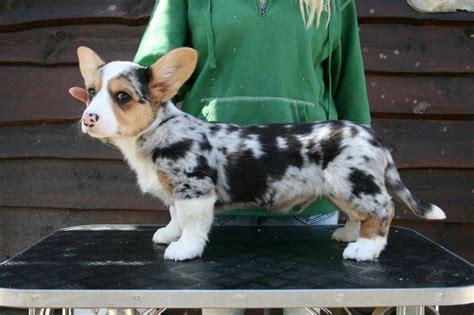 Cardigan Corgi Puppies Nsw