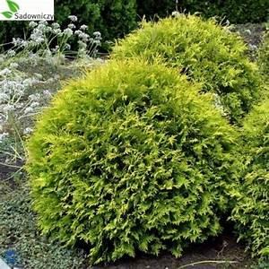 Wann Thuja Schneiden : abendl ndischer lebensbaum thuja occidentalis 39 golden globe 39 pflanzen enzyklop die ~ Markanthonyermac.com Haus und Dekorationen