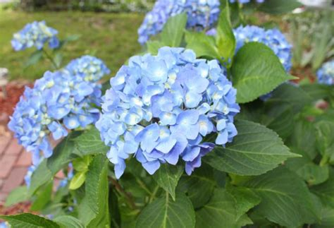 how to care for potted hydrangeas in winter bcliving