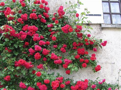 rosier liane planter et entretenir ooreka