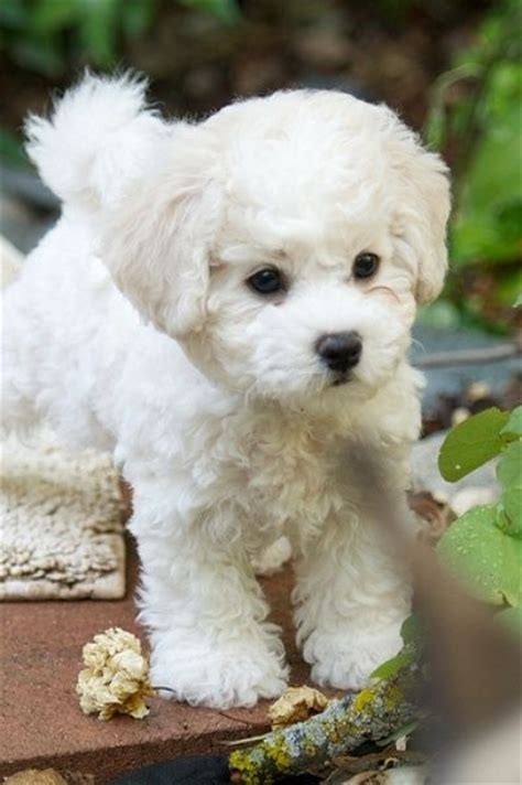 80 best dogs that don t shed images on maltipoo puppies dogs and maltese dogs