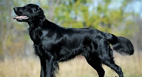 flat coated retriever breed temperament facts