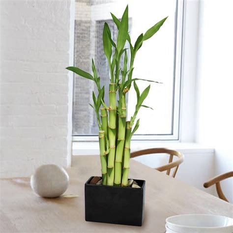 how to care for bamboo plants giving plants