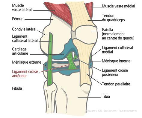sciences du sport ligaments crois 233 s ant 233 rieurs et raideur des ischio jambiers