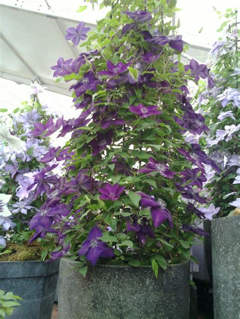 clematis amethyst taylors clematis