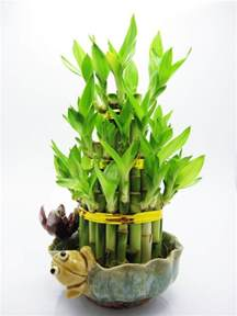 bambou en pot et lucky bambou entretien et symbolique
