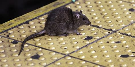 How To Prevent Arizona Roof Rats From Invading Your Home Mobile Home Roofing Supplies Legacy San Jose How Much Does A Roof Replacement Cost Can I Pressure Wash My Commercial Chicago Contractors Richland Wa Red Shingles Solar Panel Tiles