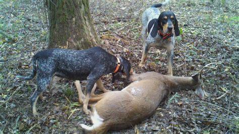 breed bluetick houndbeagle mix breeds picture