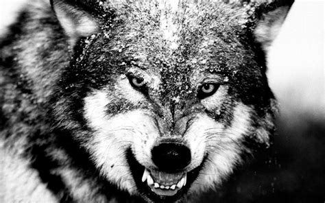 15 Wolf Black and White Picture Selection  Black And