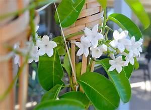 Jasmin Zimmerpflanze Pflege : kranzschling stephanotis floribunda pflege vermehrung majas pflanzenwelt ~ Markanthonyermac.com Haus und Dekorationen