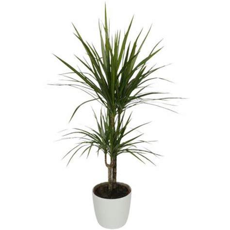 plante d int 233 rieur dracaena 2 troncs pot blanc vente plante d int 233 rieur dracaena 2