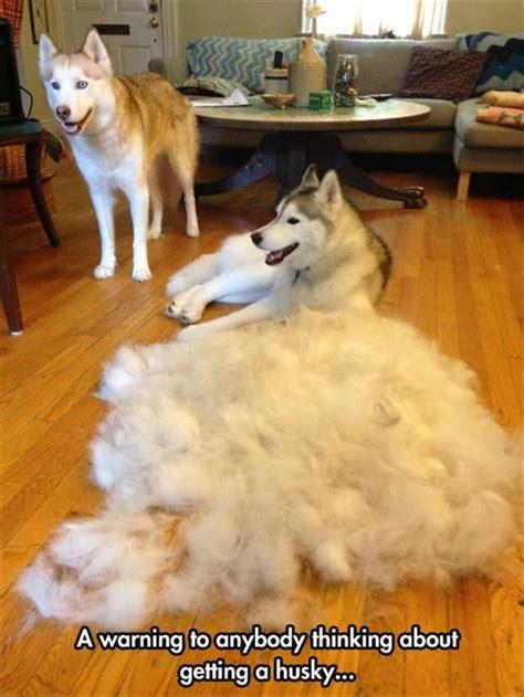 25 best ideas about siberian husky on dogs husky alaskan husky and
