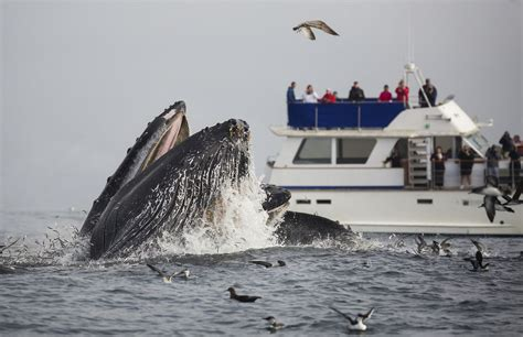 Monterey Whale Watching Boats by California Whale Watching Tips To See Them When To Go