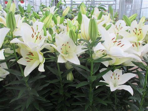 lys ou blanc en pot et cache pot www jardinerie jean gerard fr vente de fleurs plantes