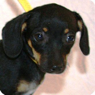 dachshund rat terrier mix puppy for adoption in gilbert