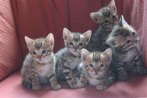 chatons dipavalibengal