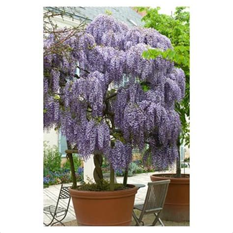 gap photos garden plant picture library wisteria sinensis in container gap photos