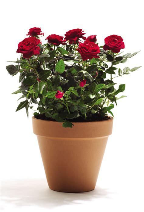 ciclamino in vaso unbranded offerte e promozioni risparmiosuper it
