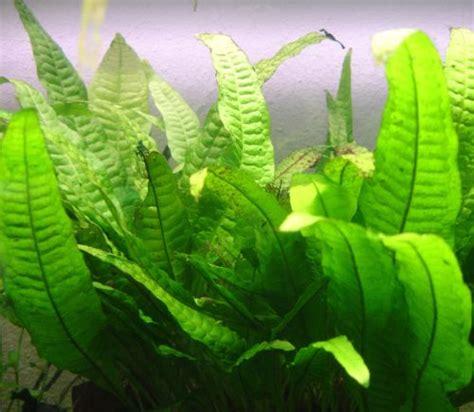 10 plantes d aquarium d eau douce pour les d 233 butants