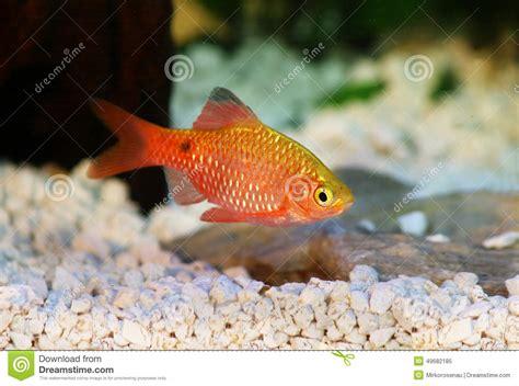 poissons tropicaux d eau douce d aquarium de conchonius de rosy barb pethia photo stock image