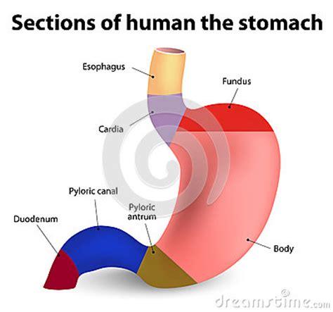 Human Stomach Stock Vector  Image 51293485