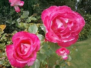 Garten Blumen Pflanzen : kostenloses foto rosen garten blumen pflanzen kostenloses bild auf pixabay 73373 ~ Markanthonyermac.com Haus und Dekorationen