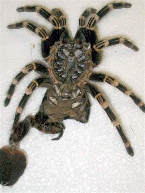 molting process theraphosids tarantulas of the world keeping and in captivity