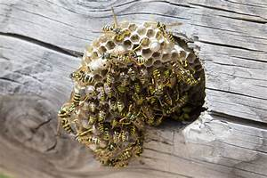 Was Wespen Nicht Mögen : wespen und wespennest erkennen entfernen und bek mpfen plantura ~ Markanthonyermac.com Haus und Dekorationen