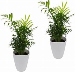 Palmen Für Die Wohnung : zimmerpflanze palmen set h he 30 cm 2 pflanzen in dekot pfen online kaufen otto ~ Markanthonyermac.com Haus und Dekorationen